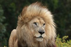 Male Lion Portrait Royalty Free Stock Image