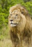 Male lion portrait. Large male lion staring into the distance Royalty Free Stock Photography