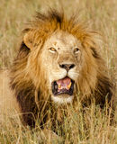 Male Lion portrait, Masai Mara Stock Photography