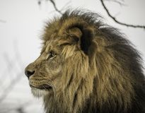 Male lion portrait. Portrait of male lion face outdoors on sunny day Stock Photography