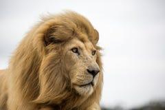 Male Lion Portrait. Potrait of a regal male lion with large bushy mane staring into the distance Stock Photos