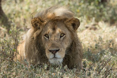 Male Lion portrait, Serengeti National Park, Ndutu, Tanzania. One large Male Lion portrait, Serengeti National Park, Ndutu, Tanzania Royalty Free Stock Photos