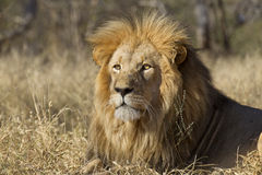Male Lion portrait, South Africa. Male African Lion (Panthera leo) head shot, portrait, South Africa Stock Image