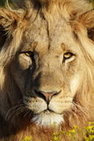 Male lion portrait. South Africa Royalty Free Stock Images