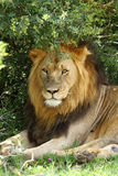 Male Lion Portriat. Male lion lying in shade of tree, close up portrait Stock Photo