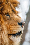 Male Lion in Profile. Large male lion face photographed close and in profile Royalty Free Stock Photo