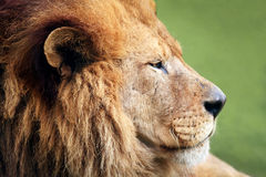 Male Lion Profile. A male lion with mane photographed in profile with grassy landscape in the soft-focused background Stock Photography
