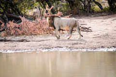 Male Lion on the prowl Royalty Free Stock Image