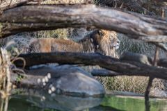 Male Lion Prowling royalty free stock image