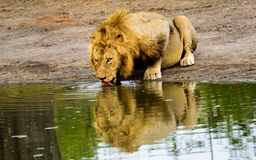 Male Lion and reflection  drinking at a waterhole Stock Images