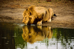Male lion and reflection at the waterhole Royalty Free Stock Photography