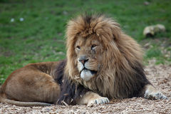 Male Lion relaxing Stock Images