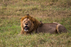 A male lion relaxing Stock Photos