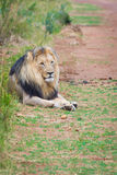 Male lion relaxing Stock Photography