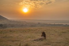 A male lion relaxing and watching the sunset. Masai Mara, Kenya stock photo