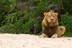 Male lion rest on river bed. White sand looking relax Royalty Free Stock Images