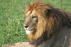 Male Lion Resting royalty free stock photos