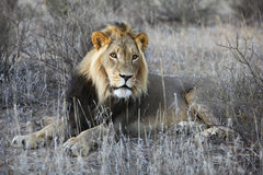Male lion resting. In the grass stock photography