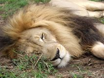 Male lion resting. Royalty Free Stock Images