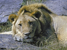 Male lion resting Royalty Free Stock Photo
