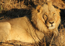 Male Lion Resting. Eye Contact With A Male Lion, Khwai River, Botswana Royalty Free Stock Photos