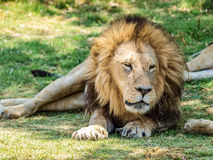 Male lion resting Royalty Free Stock Image