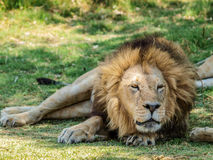 Male lion resting Stock Image