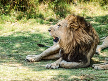 Male lion resting Royalty Free Stock Photography