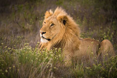 Male lion resting in the grass Royalty Free Stock Photography
