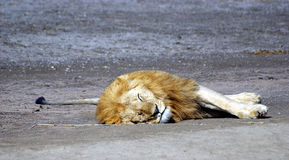 Male lion resting on ground Stock Photography