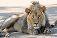 Male lion resting Stock Photos