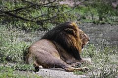 Male lion resting at Kruger National Park stock image