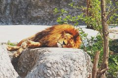 A male lion resting on a large stone in the rays of a  sun. A male lion resting on a large stone in the rays of a warm sun Stock Images