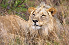 Male lion. Resting in the long grass Stock Photography