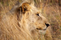 Male lion. Resting in the long grass Stock Images