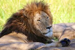 Male lion resting at the masai mara Royalty Free Stock Image