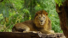 Male lion resting. Near a tree stock footage