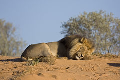 Male Lion Resting On Top Of Sand Dune Stock Image
