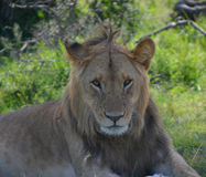 Male lion resting on the plains. In a game reserve in Kenya Stock Photography