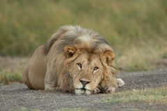 Male Lion resting in the Serengeti National Park, Tanzania. Large Adult Male Lion resting in the Serengeti National Park, Tanzania Stock Images