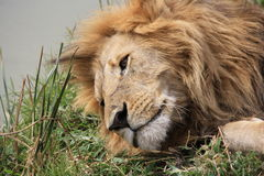 Male Lion Rests By River Royalty Free Stock Image