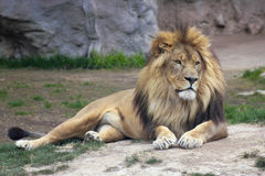 A Male Lion Rests in the Wild. A Male Lion Resting Peacefully in the Wild stock image
