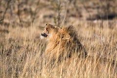 Male lion roaring at etosha national park Stock Photography