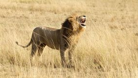 Male lion roaring, side view Royalty Free Stock Photography