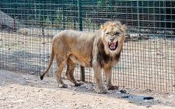 A lion roaring in a zoo. A male lion roaring in a zoo stock photo