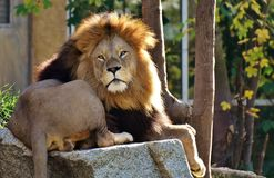 Male lion on rock Stock Photo
