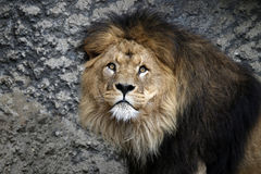 Male lion with a rocky background Royalty Free Stock Image
