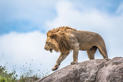 Male lion on rocky outcrop, Serengeti, Tanzania, Africa. Male lion on a rocky outcrop leaving his cubs towards the plains during the wet season, Serengeti royalty free stock photography