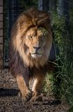 Male lion running towards camera. Male lion moving fast towards camera shot straight on Stock Images