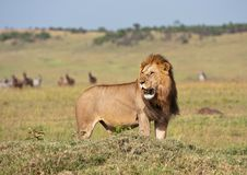 Male lion in the savannah in Kenya. Looking for prey-national park masai mara - Africa Royalty Free Stock Image